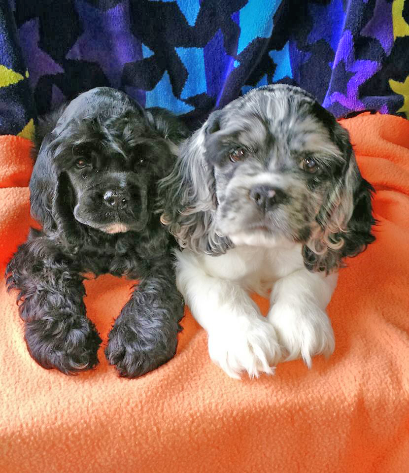 Cocker Spaniels Wisconsin | AKC Puppies For Sale Fort Atkinson