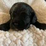 Black Cocker Spaniel Puppy for Sale