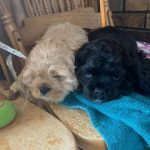 Black & Tan Cocker Spaniel Puppies for Sale