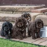 Chocolate Cocker Spaniel Puppy Litter