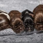 Chocolate Cocker Spaniel Puppies for Sale