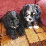 Merle & Roan Cocker Spaniel Puppies for Sale