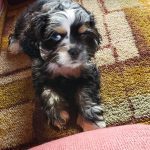 Available Merle Cocker Spaniel Puppy